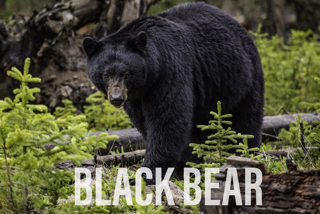 Blackbear Hunting
