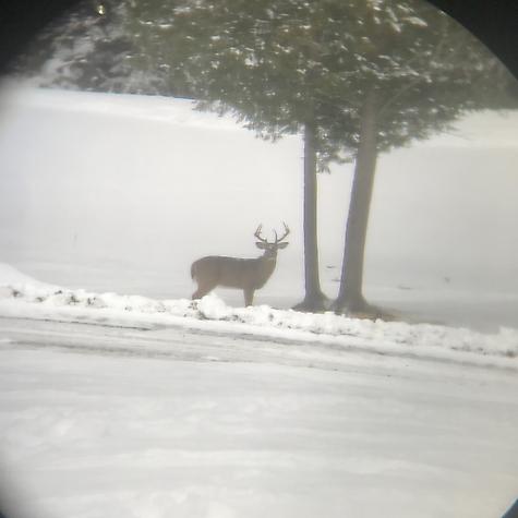 Maine Whitetail pics